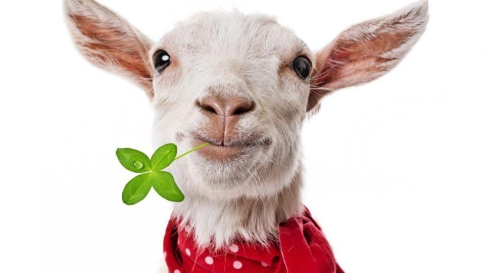 Кабрита - смесь на козьем молоке, описание, состав, плюсы, минусы, отзывы